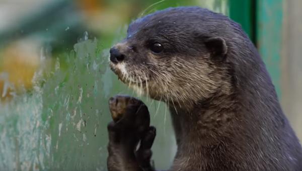 'Oh Boy!' Otters Jump for Joy at Feeding Time - Sputnik International