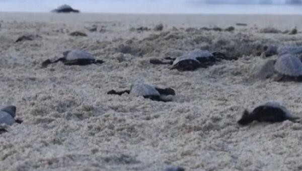 Newborn Sea Turtles Make Their Way to the Pacific Ocean - Sputnik International