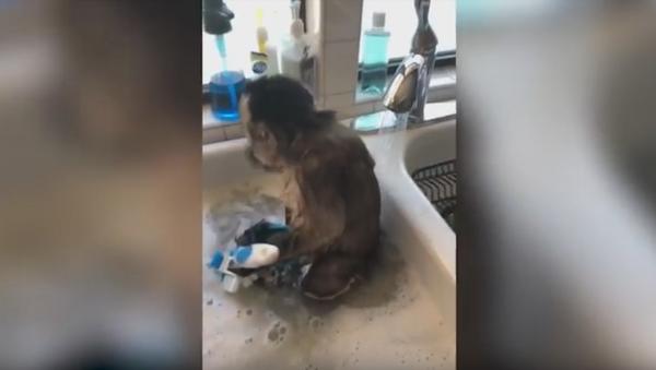 Double Duty: Capuchin Monkey Bathes and 'Cleans' Dishes - Sputnik International