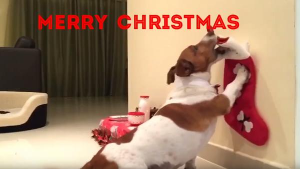 Dapper Dog Preps for Santa Paws' Arrival - Sputnik International