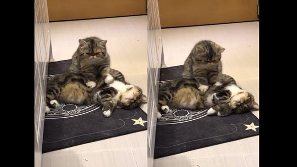 'A Friend in Knead': Considerate Cat Massages Mate - Sputnik International