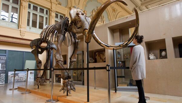 A visitor looks at a complete mammoth skeleton that is displayed before its auction by Aguttes auction house in Lyon, France, November 17, 2017 - Sputnik International