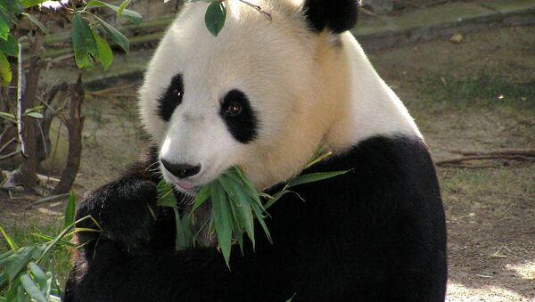 Panda - Sputnik International
