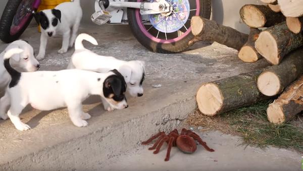 Mob Mentality: Jack Russell Pups vs. Robot Spider - Sputnik International