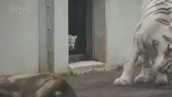 White tiger kitten scares his mom! - Sputnik International