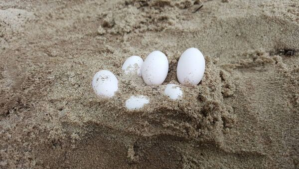 Some of 43 snake eggs removed by wildlife rescue group Fawna from a school sandpit in Laurieton, New South Wales - Sputnik International