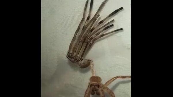 Huntsman Spider Shedding its Skin    ViralHog - Sputnik International