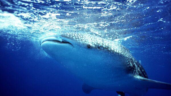 A whale shark swims off the coast of Belize - Sputnik International