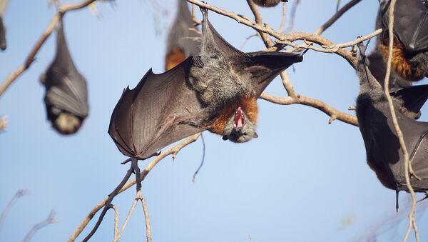 Flying foxes - Sputnik International