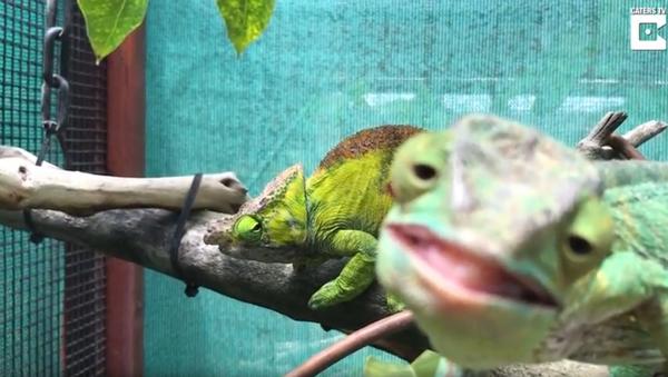 Female Chameleon Ignores Mating Ritual, Photobombs Video - Sputnik International