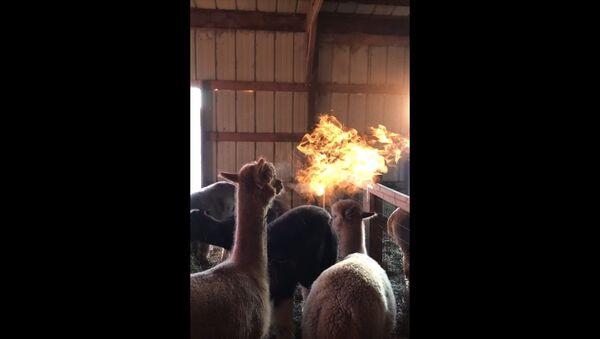 Fire Breathing Alpacas - Sputnik International