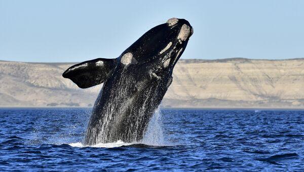 Right whales - Sputnik International