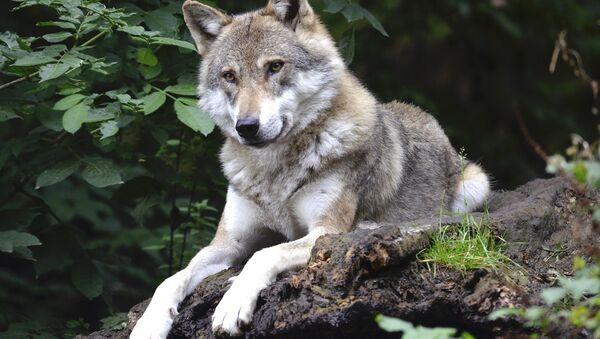 Wolf - Sputnik International