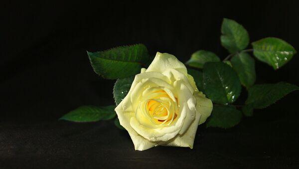 White rose - Sputnik International