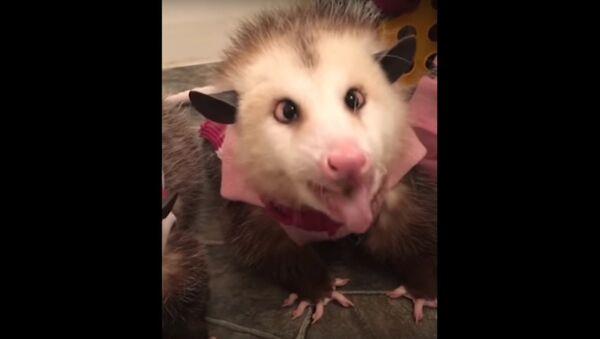 Adorable Possums Enjoy Apple Treat - Sputnik International