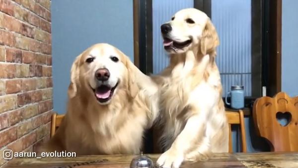 Polite Pups! Golden Retrievers Ding For Dinner - Sputnik International