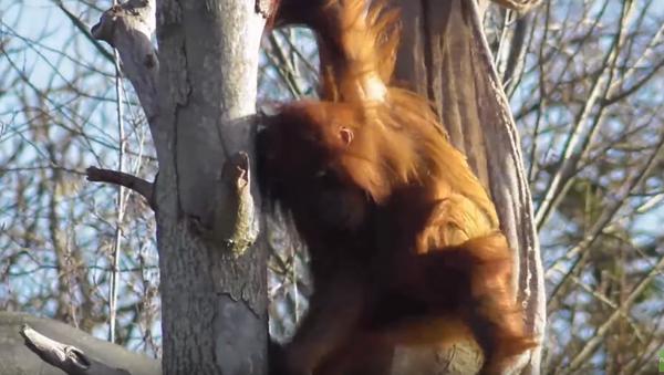 Young Sumatran Orangutan Constructs Makeshift Hammock - Sputnik International