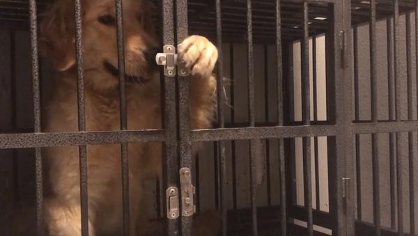 Houdini Hound: Golden Retriever Escapes Cage in Under a Minute - Sputnik International