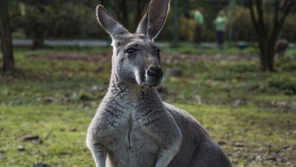 Kangaroo - Sputnik International