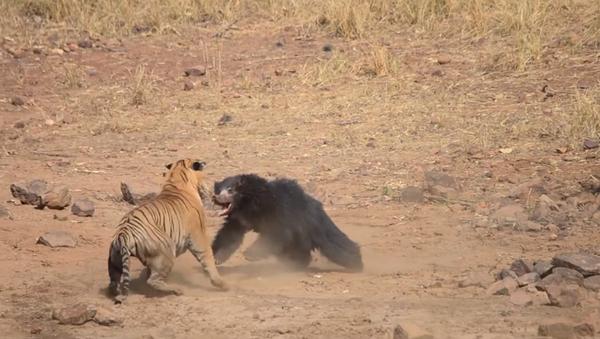 Tiger and Sloth Bear caught fighting at Maharashtra's Tadoba National Park - Sputnik International