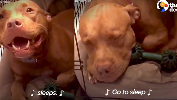 Pit Bull's Bedtime Blues Cured by Owner's Lullaby - Sputnik International