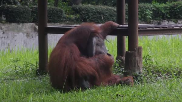 smoking orangutan - Sputnik International