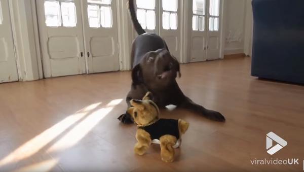 Chocolate Lab Loses it as Stuffed Dog Somersaults - Sputnik International