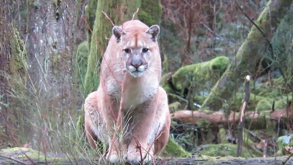 Pounce or Play? Curious Cougar Stalks Canadian Photographer - Sputnik International