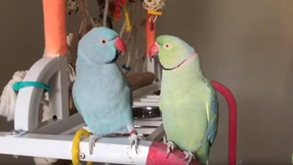 Brotherly Love: Indian Ringneck Parrots' Affectionate Exchange - Sputnik International