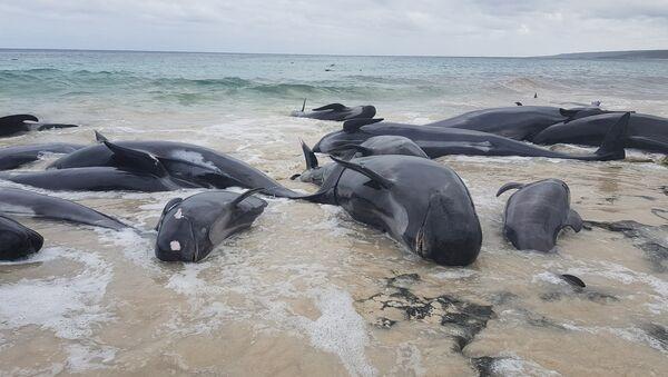 Stranded whales on the beach at Hamelin Bay - Sputnik International