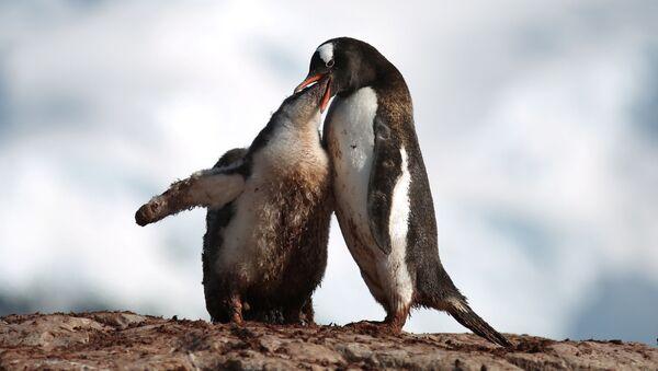 Antarctica: Penguins Really Dig it - Sputnik International