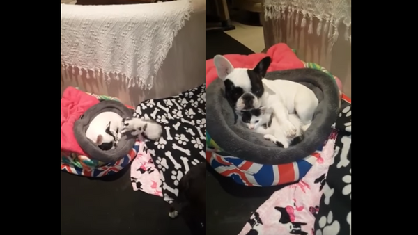 Kitten Curls Up With French Bulldog For Snuggle Session - Sputnik International