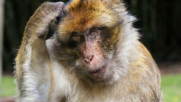 Monkey - Sputnik International