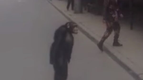 Richard The Chimpanzee Attempts Prison Break - Sputnik International