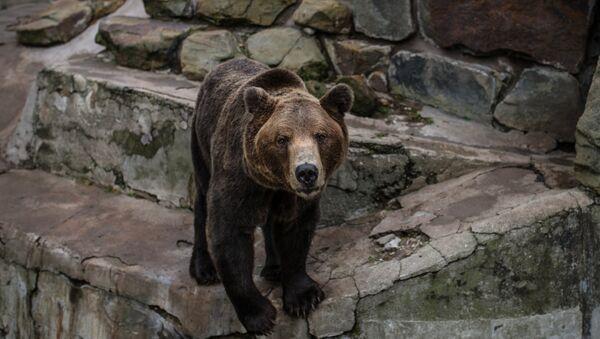 A brown bear (File) - Sputnik International