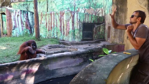 Peel 'n Toss: Orangutan Throws Back Peel After Snacking - Sputnik International