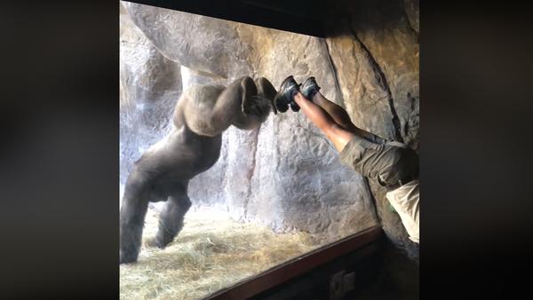 Gorilla See, Gorilla Do: Primate Shows Off Mimic Moves - Sputnik International
