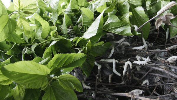 silkworms crawl on a pile of mulberry twigs - Sputnik International