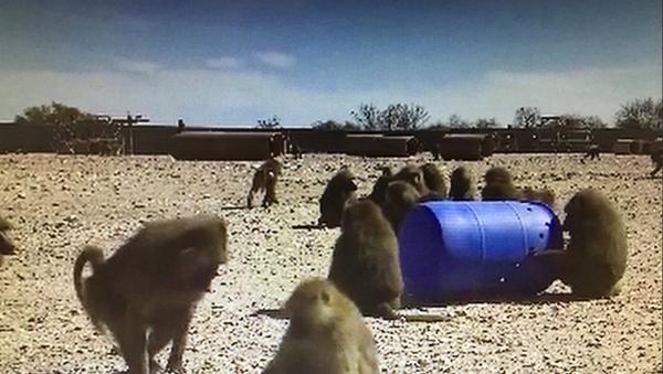 baboons - Sputnik International