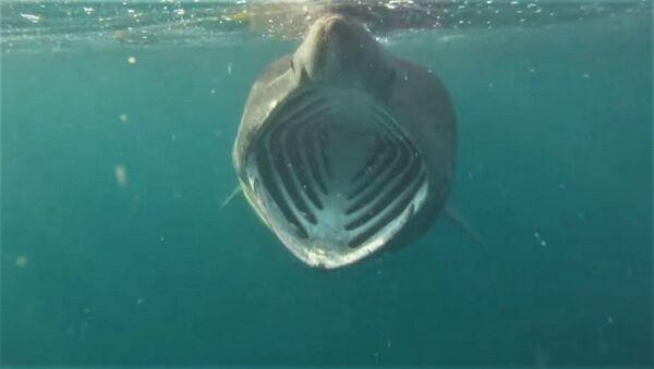 A diver's view of an open-mouthed basking shark - Sputnik International
