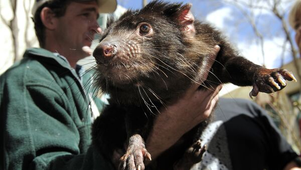 A Tasmanian Devil, a heavily built marsupial with a large head, powerful jaws, and mainly black fur, found only in Tasmania, is held by a wildlife officer on the grounds of Parliament House on Sept. 7, 2010 - Sputnik International