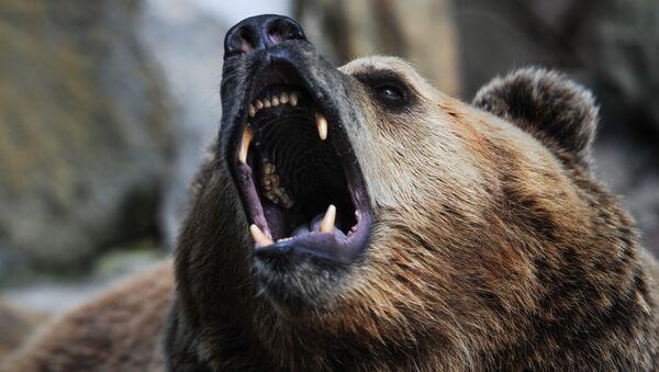 Brown bear - Sputnik International