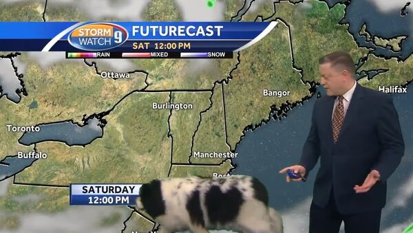 Dog interrupts Josh Judge's live forecast - Sputnik International