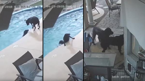 Lifeguard Retriever: Black Lab Hops in Pool to Save Struggling Bud - Sputnik International