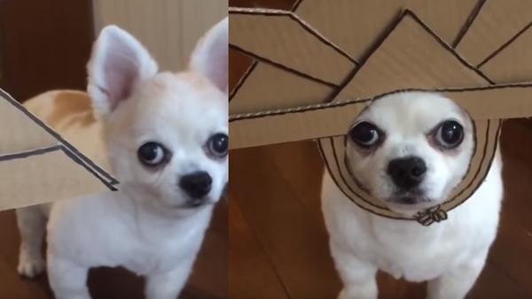 Reluctant Pup Dons Cardboard Samurai Hat to Humor Human - Sputnik International