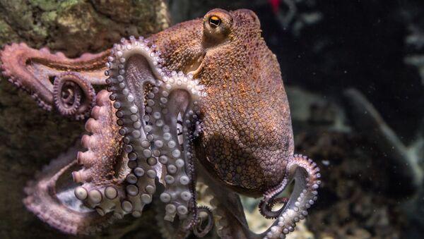 Octopus - Sputnik International