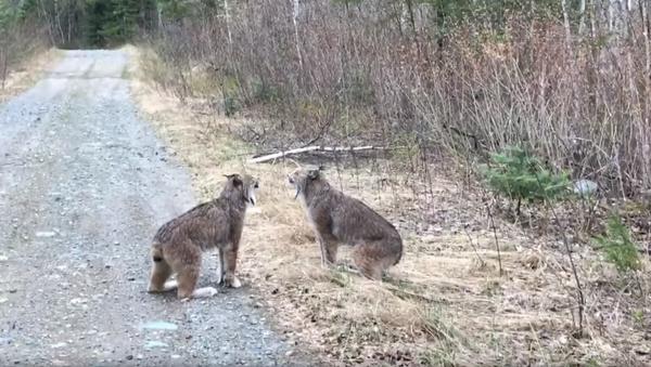 Ontario Lynx Link Up For Copycat Shouting Match - Sputnik International