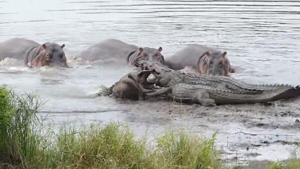 Hippos Save Wildebeest from Crocodiles! - Sputnik International