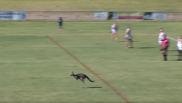 Can 'Roo Play Too? Joey Takes Detour Through Rugby Match - Sputnik International