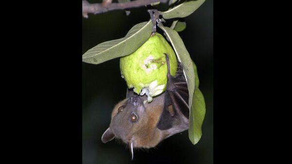 A bat feeds on a guava fruit in Siliguri, India. - Sputnik International